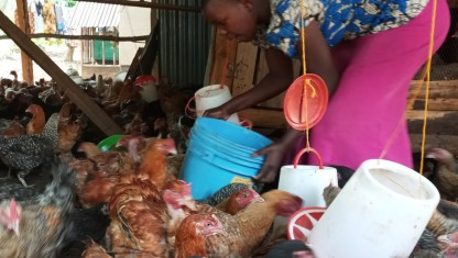 20.000 kyllinger om ugen