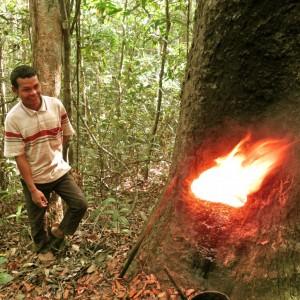Harpiks – en livsnødvendig indtægtskilde for familierne i Prey Lang skoven